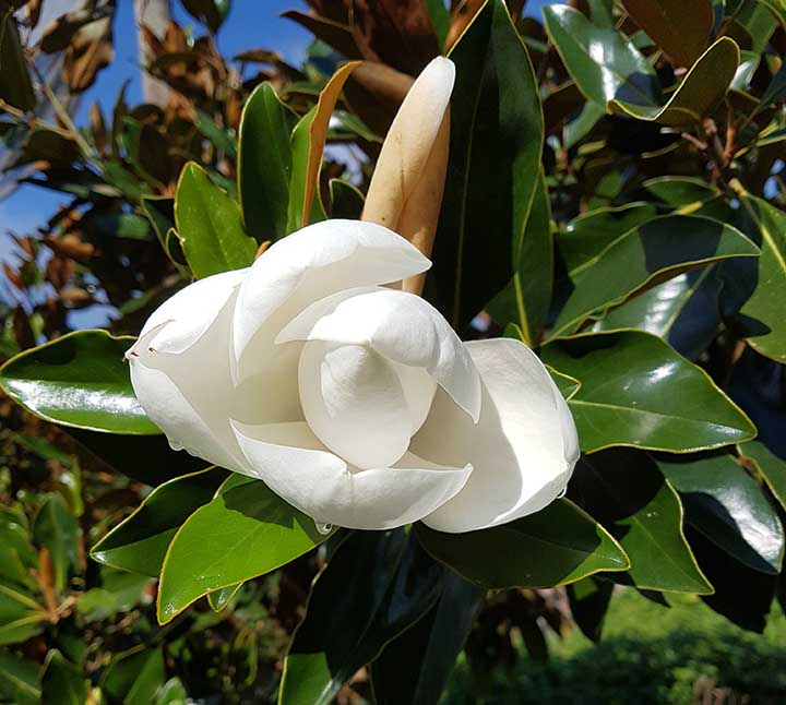 little-gem-magnolia-flower